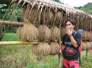 A drying a rice in paddy field a  typical way of Bantenese culture