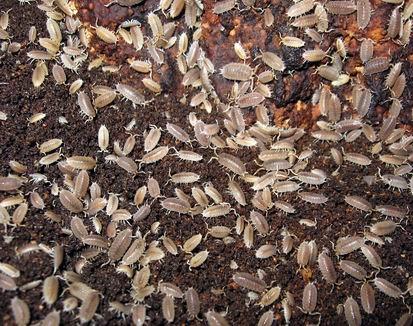 Isopods carpet