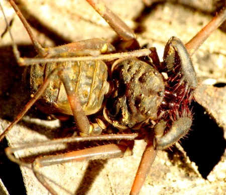 The small size species of cave whip-spider
