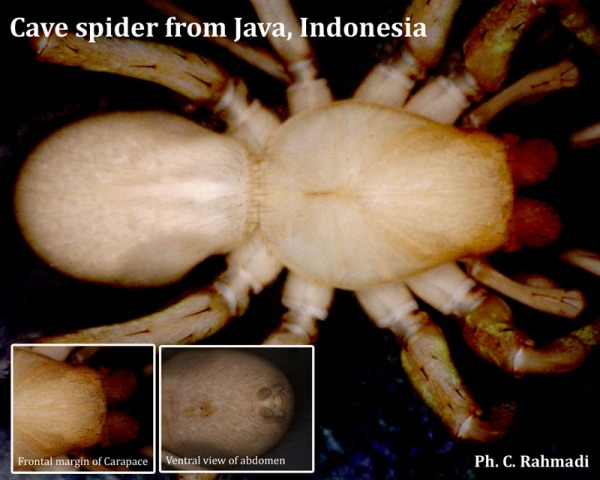 A blind cave spider from Menoreh Karst, the first cave spider known to Java Island